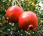 pomegranate_b
