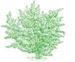 creosote-bush