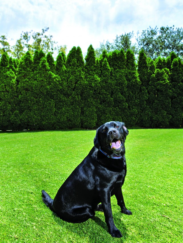 When the Karmin's Labrador retriever, Comet, isn't chasing balls across the wide lawn, he rests in front of a curved hedge of cypress trees that conceals gardening equipment and pool machinery. Ken uses the grass as a golf practice area.