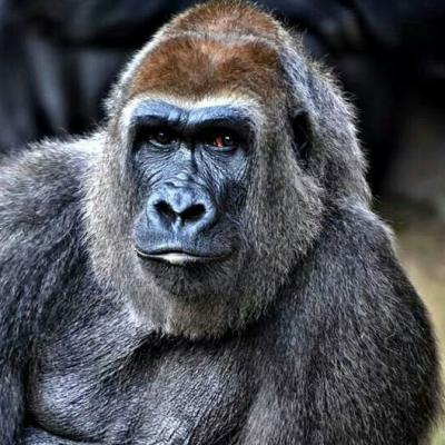 Evelyn the gorilla