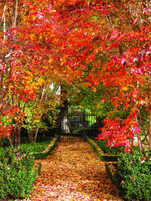 An allée of crape myrtles turns a panoply of autumnal colors in late fall.