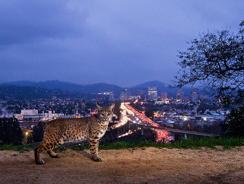 The bobcat photo in question. Photograph by Steve Winter/National Geographic