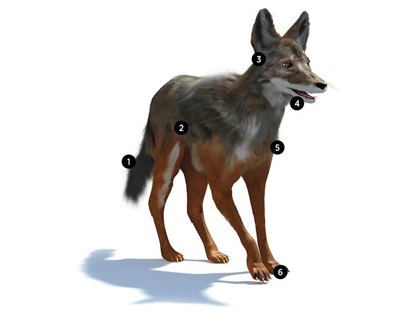 howlaworks-coyote-numbers