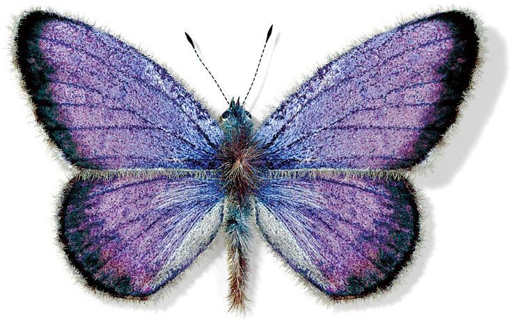 Tiger Moth Caterpillar (Family Arctiidae)
