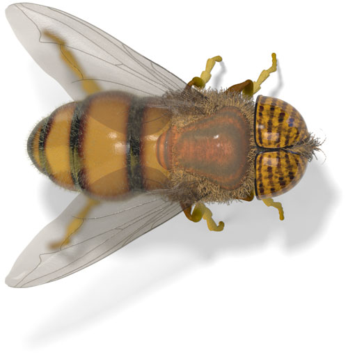 Stripe-Eyed Flower Fly (Eristalinus taeniops)
