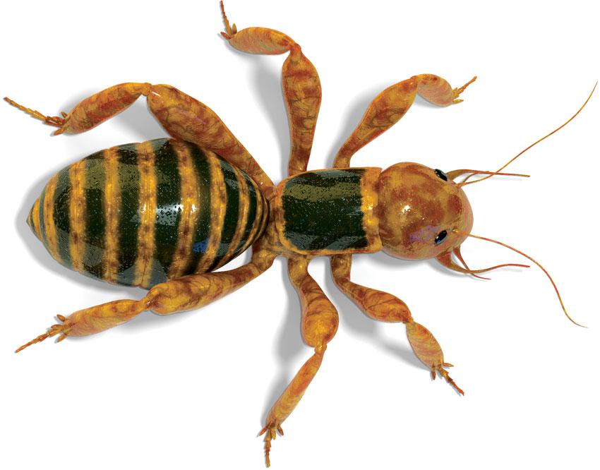 Jerusalem Cricket (Stenopelmatus nigrocapitatus)