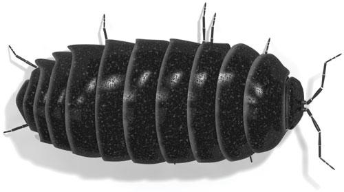 Pill Bug (Armadillidium vulgare)