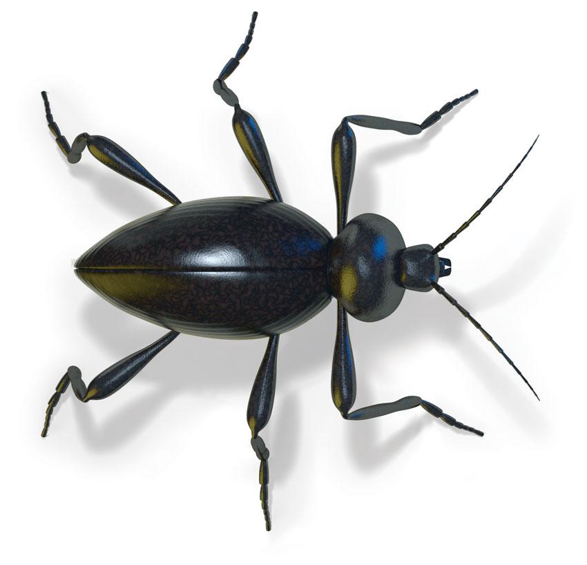 Stink Beetle (Eleodes armatus)