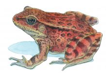 Red-Legged Frog
