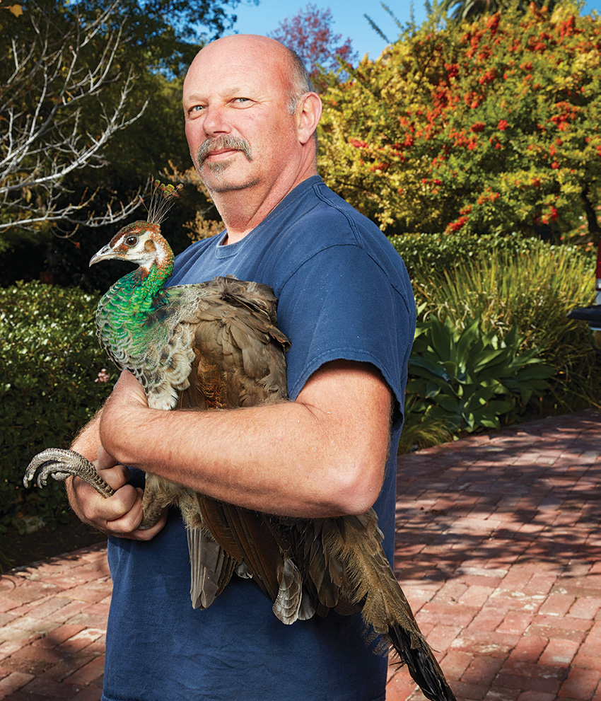 While cities such as Rancho Palos Verdes hire Mike Maxcy to trap and relocate the birds, Dapplegray Lanes does not.
