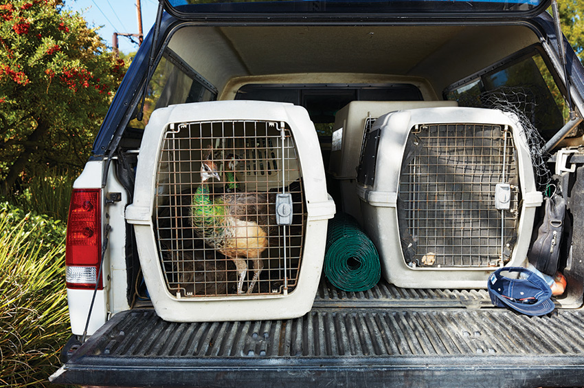 For his latest job on the peninsula, Maxcy was contracted to remove 150 birds; he was halfway there when this photo was taken on November 16. Some will wind up in Santa Paula and Moorpark