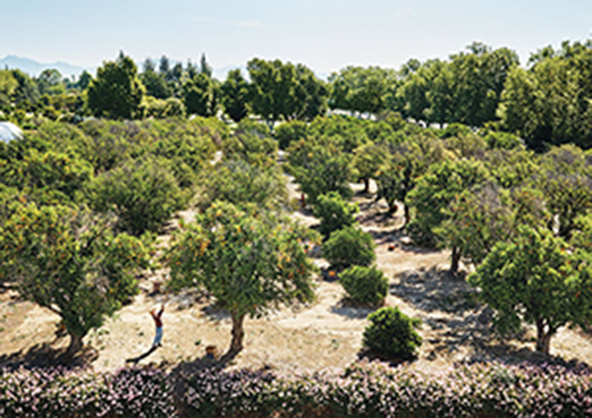 Each year Food Forward pickers make a pilgrimage to the 400-tree citrus orchard on Cal State Northridge's campus