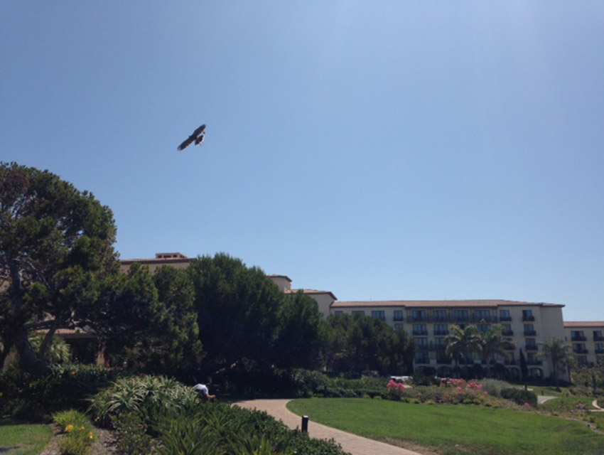 Teo in flight. That speck on his wing? A mockingbird trying to start something