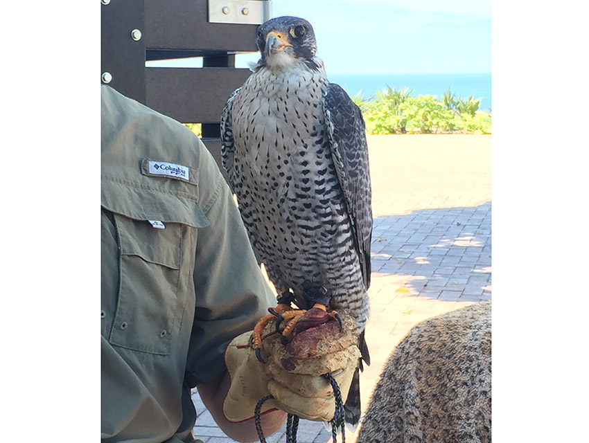Omen, the gyrfalcon, is on desk duty right now