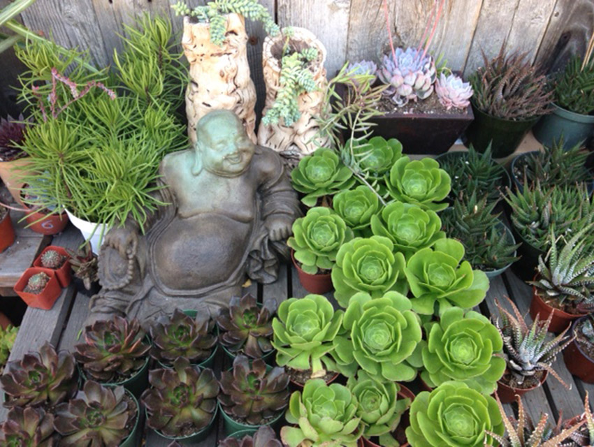 Buddha admires drought resistant plants