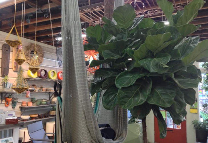 A fiddle-leaf fig is the focus at Potted