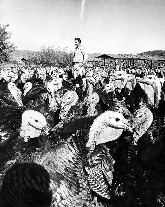"Photograph caption dated November 24, 1964 reads, ""One of these hefty turkeys, giving you the eye in this picture, may end up under the family gaze Thursday for Thanksgiving dinner. These gobblers were raised in Saugus on the turkey farm of Peter Huntsinger at 29104 Bouquet Canyon Rd., shown standing amongst his feathered brood."""