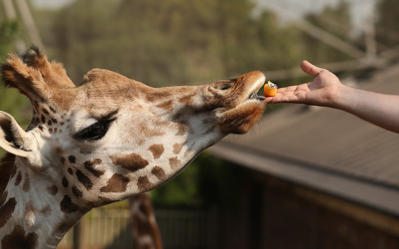 You Can Now Feed The Giraffes At The L A Zoo Los Angeles Magazine