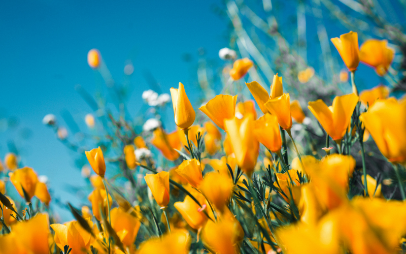 The most gorgeous instagrams of las first spring flowers los california poppies in bloom mightylinksfo