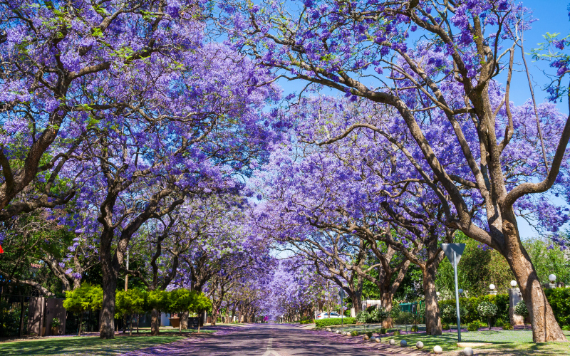 Where Did All The Jacaranda Trees In Los Angeles Come From