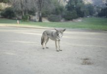 coyotes los angeles griffith park