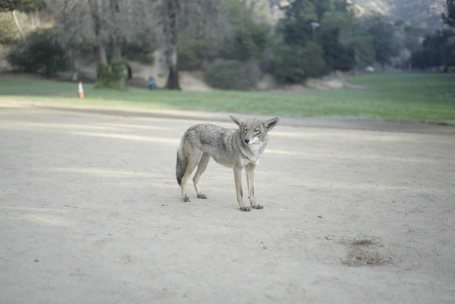 Los Angeles Urban Coyotes Aren T The Problem People Are