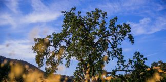 native oak los angeles trees treepeople