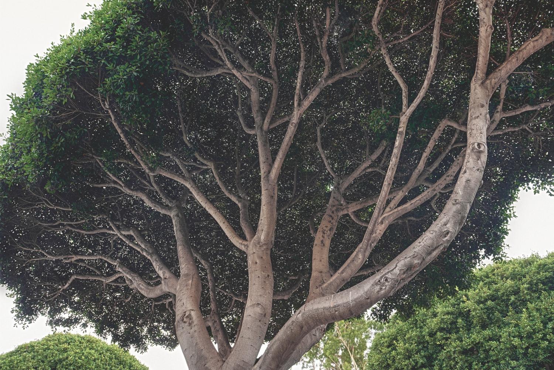 los angeles trees