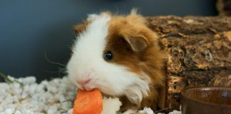 los angeles guinea pig adoption