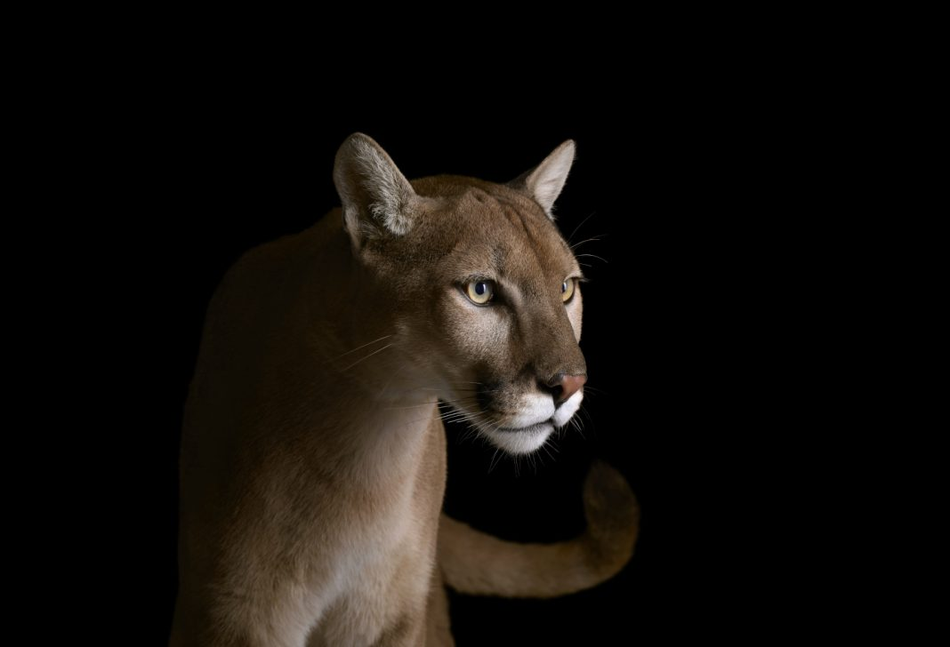 In the Wake of the Wildfires, Mountain Lions Have Found