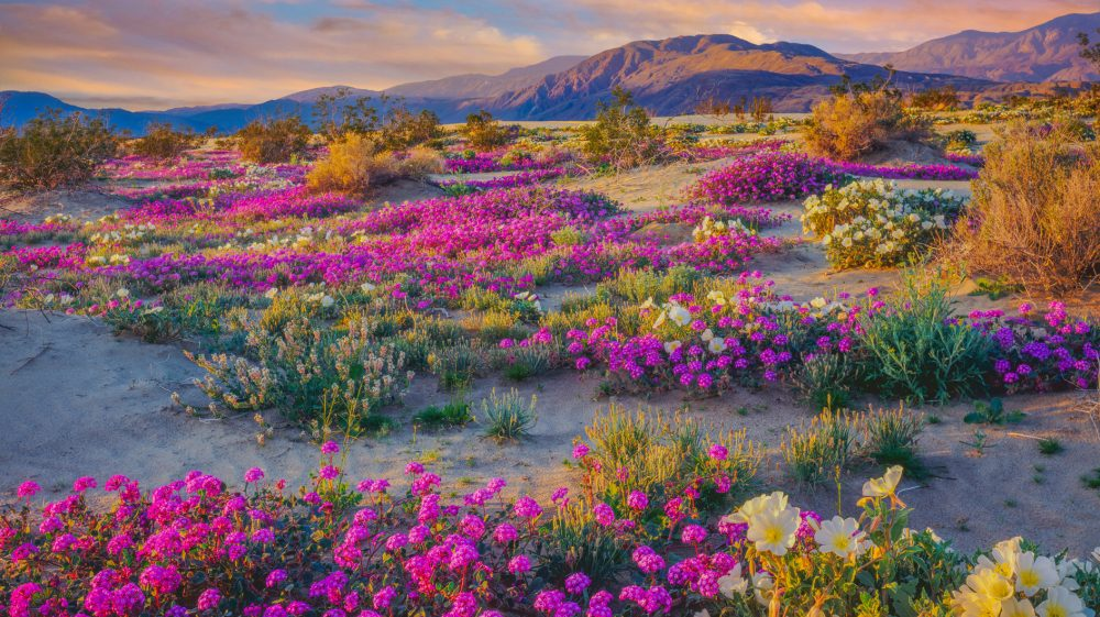 Super Bloom Watch: Will the Rare Desert Wildflower Burst ...