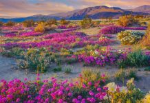 anza borrego state park superbloom super bloom flowers spring