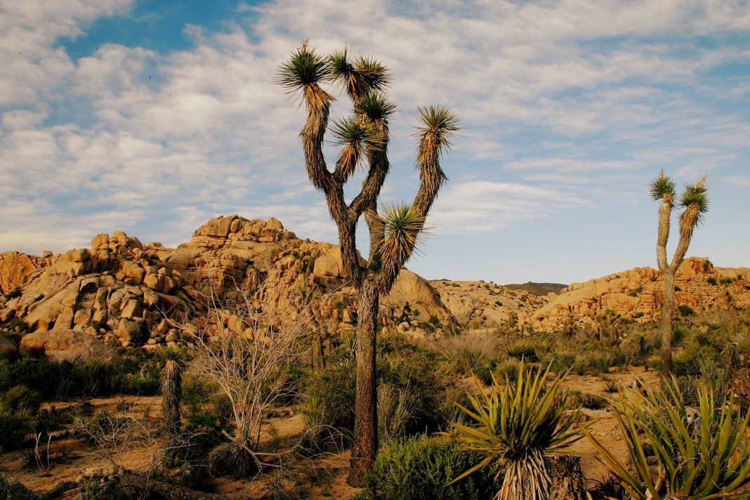 joshua tree shutdown desert landscape government shutdown