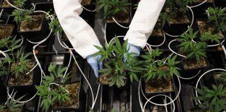marijuana farm odor technology cannabis pot farm greenhouse