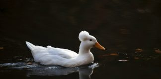hot duck echo park lake