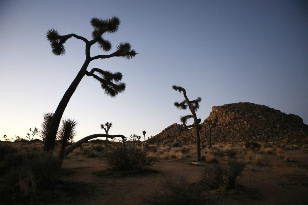 joshua tree destruction