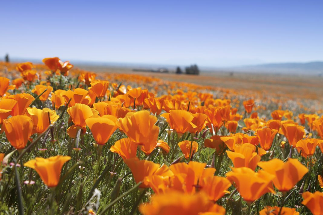 superbloom lake elsinore poppy bloom
