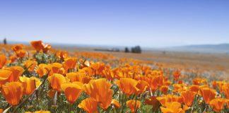superbloom lake elsinore poppy bloom