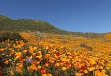 California Poppy bloom super bloom lake elsinore antelope valley