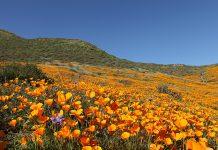 California Poppy bloom super bloom lake elsinore antelope valley