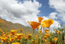 poppy superbloom from space
