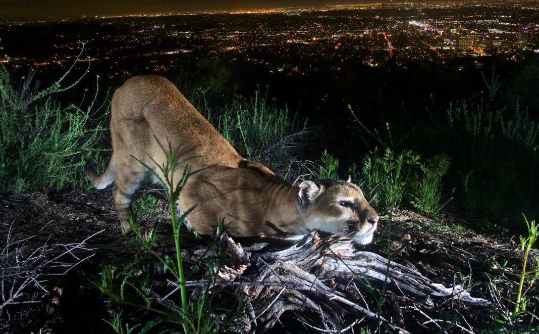 wildlife bridge cougar bridge 101 freeway mountain lion