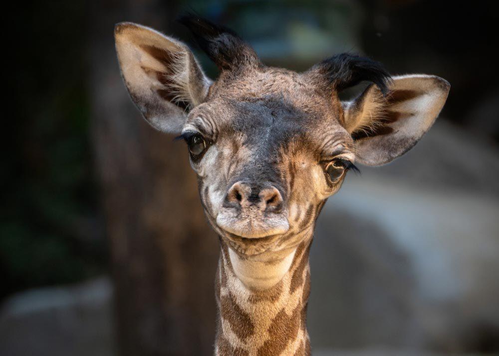 baby giraffe la zoo
