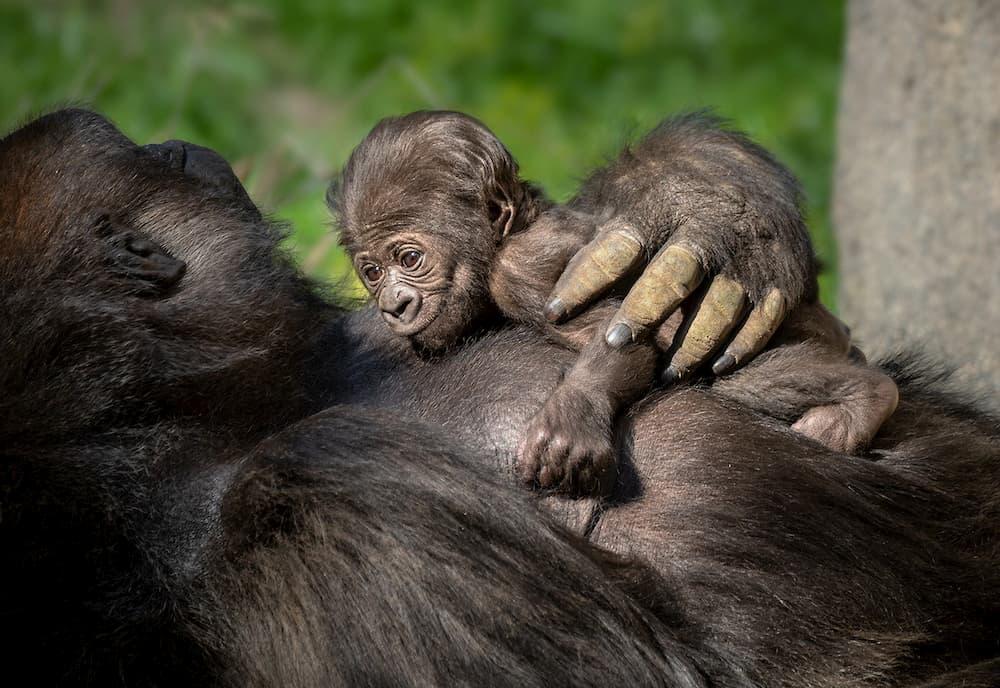 la zoo baby gorilla