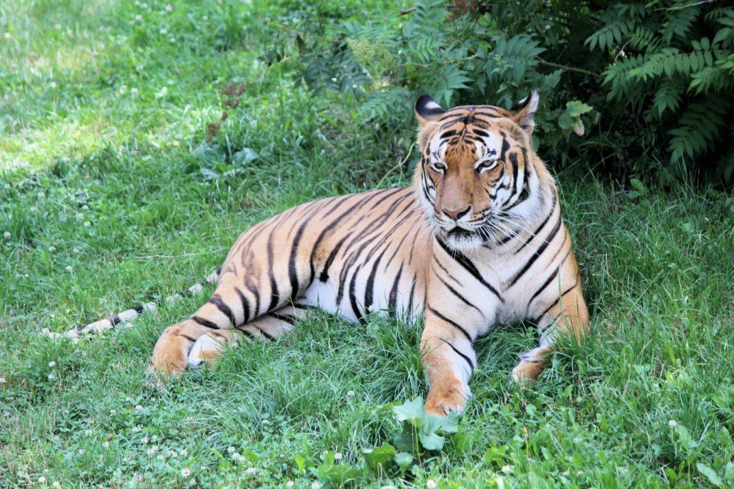 tiger zoo covid