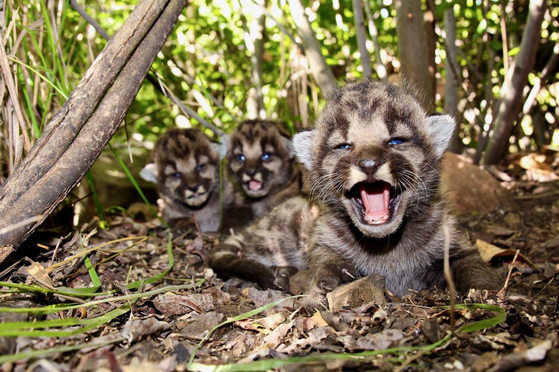 mountain lion kittens santa monica mountains