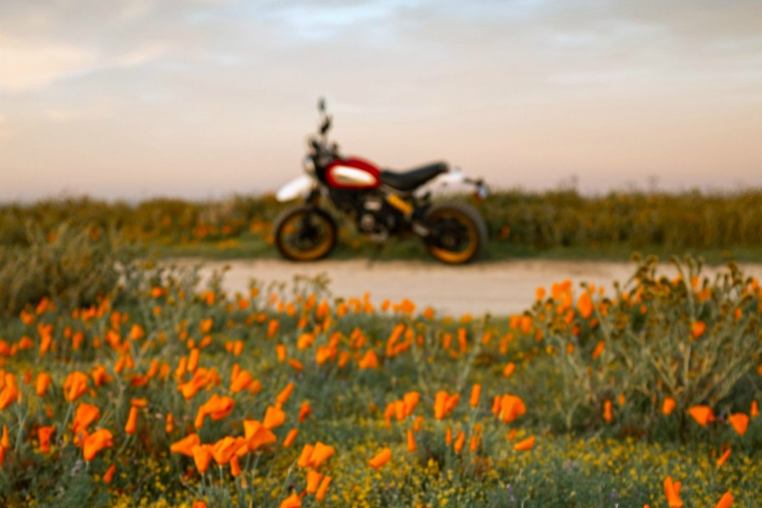 california poppies wild